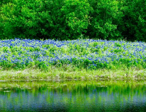 It's Texas Bluebonnet time!